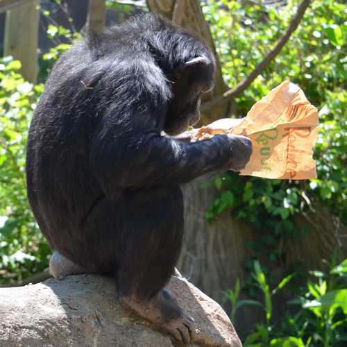 Earth Day 2015 - Chimps