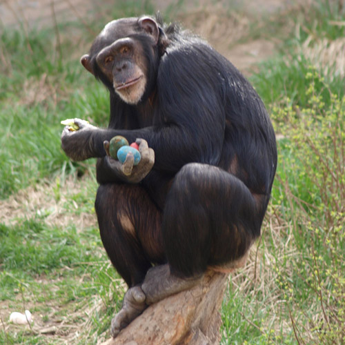 Chimp holding Easter eggs