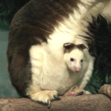 Baby Matschie Kangaroo