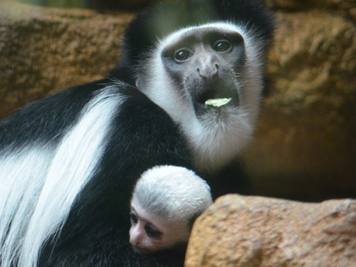 Ziggy the Guereza Colobus monkey